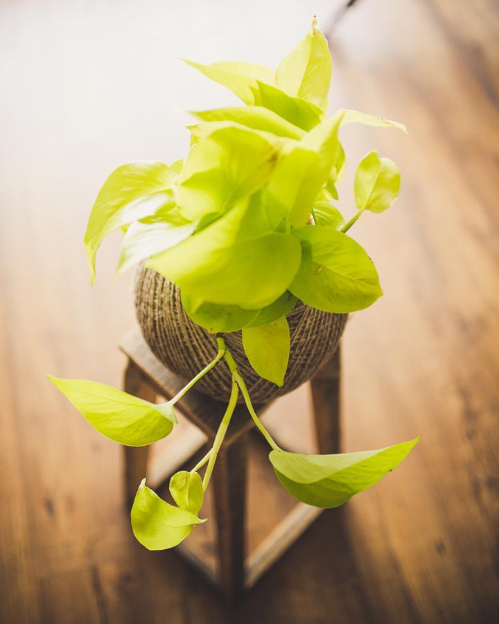 Neon Pothos, Homespun Succulents, Launceston Tasmania